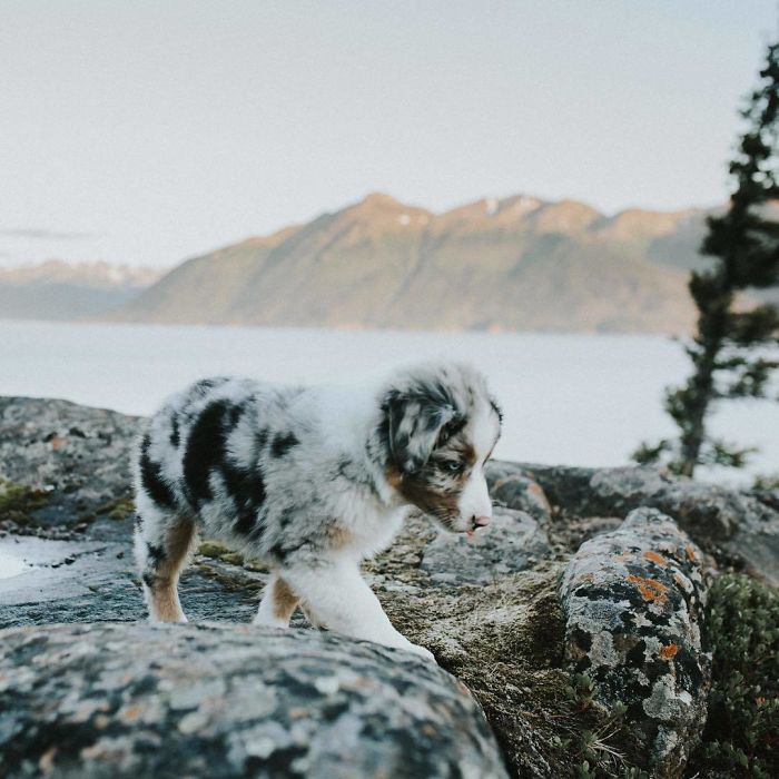 This Australian Cattle Dog Puppy Is Perfectly Camouflaged!