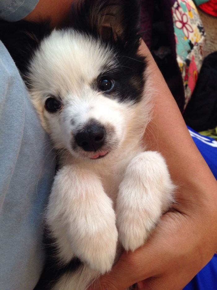 Meet Pepper, The Cutest Toy Australian Shepard Ever