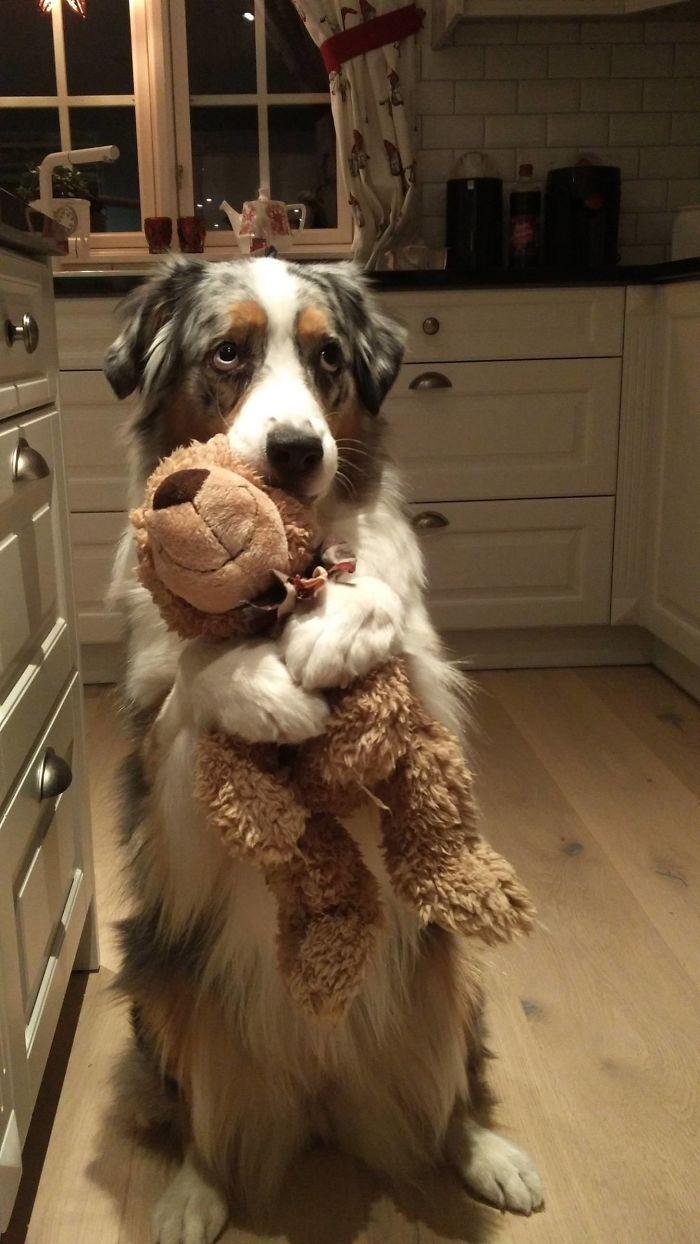 Here's My Doggo Izzie Holding Her Teddy