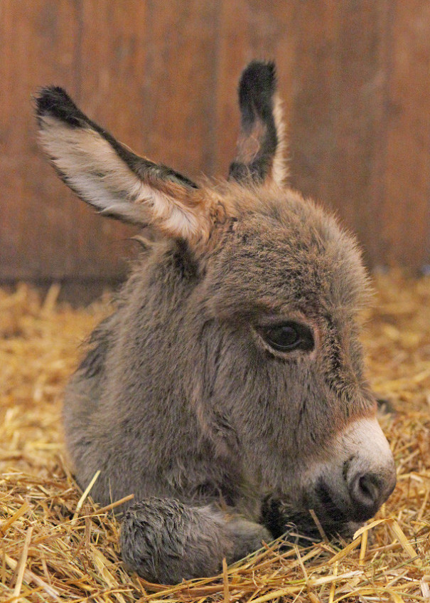 We Had A Baby Mini Donkey On Our Farm. His Name Is Opie