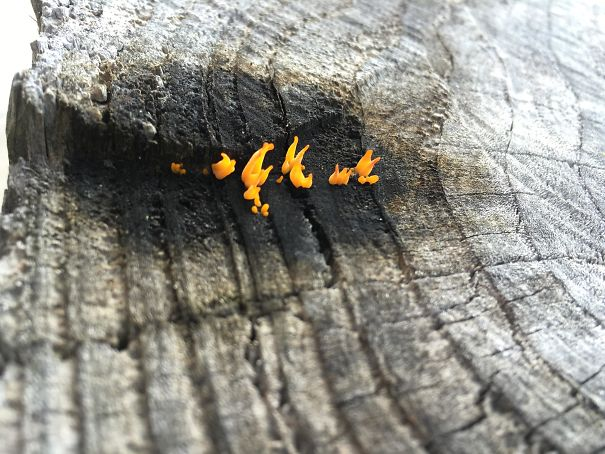 This Fungus Looks Like Fire