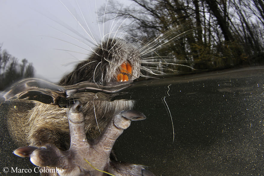 Alien Species Coypu (Myocastor Coypus) From South America Brings Some Damages To European Ecosystems