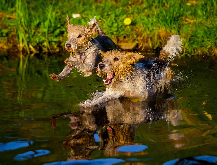 Action Photos With Two Fox Terriers – Diving Dogs
