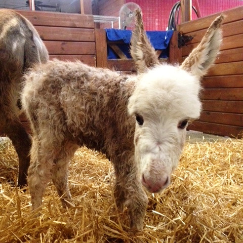 Meet Our Beautiful Newborn Baby Donkey With Its Mom, Sweet Pea