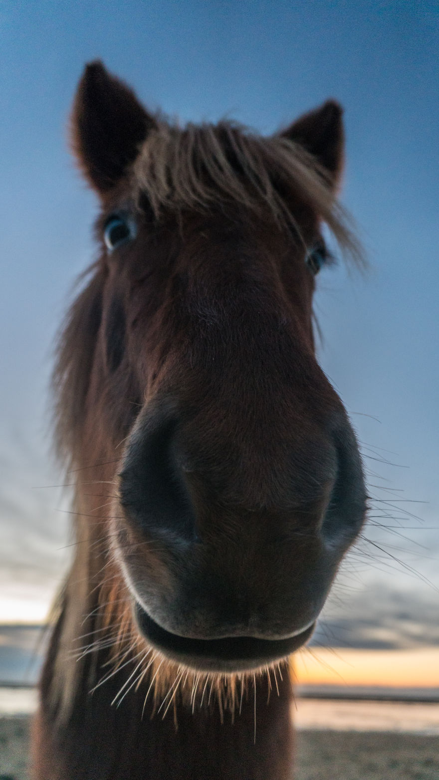 Silly Icelandic Horse