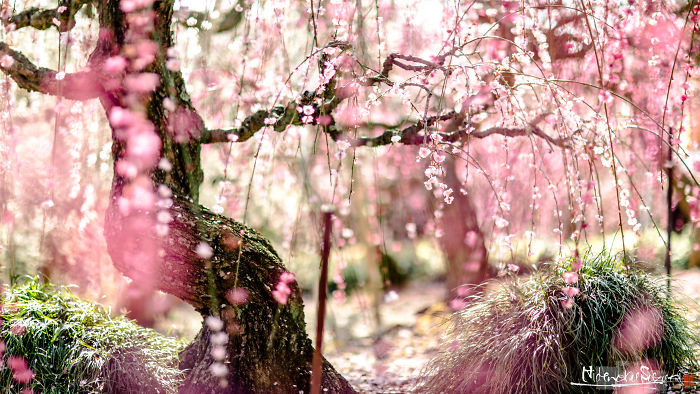 I Captured Plum Trees Blooming In Japan!