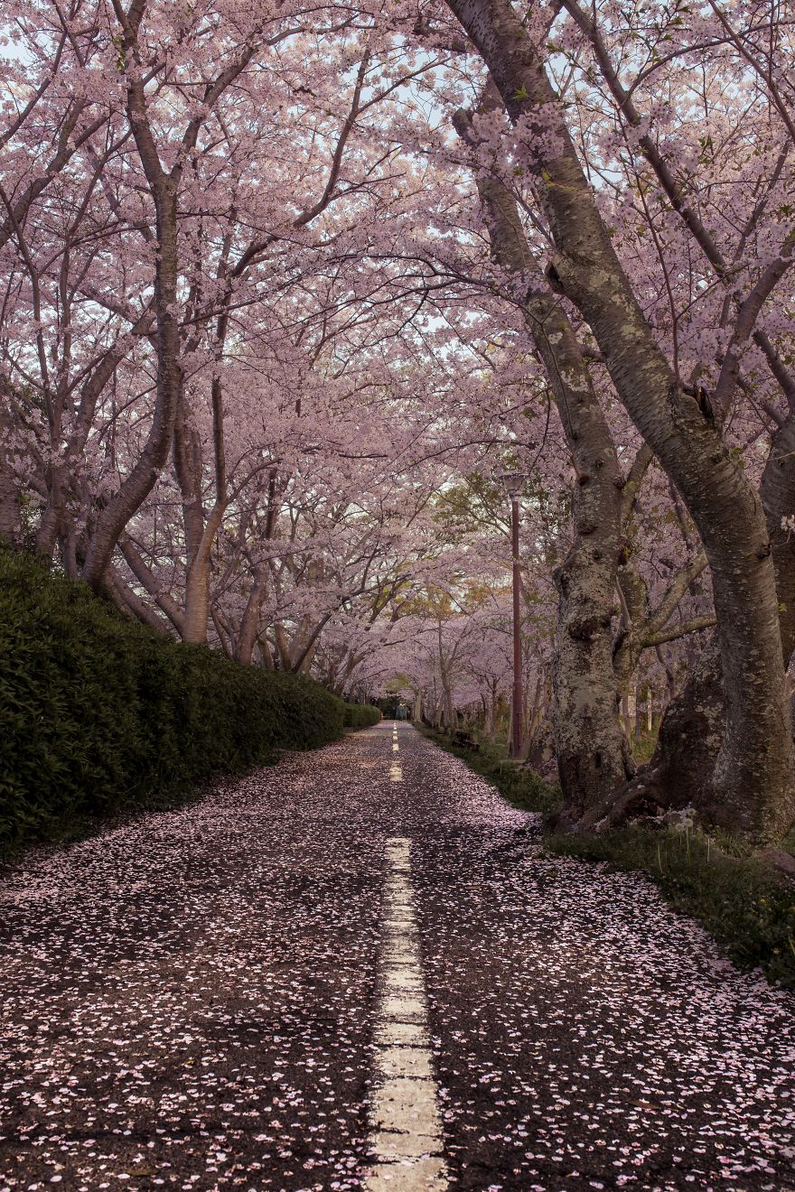 I Captured Sakura Bloom In Japan