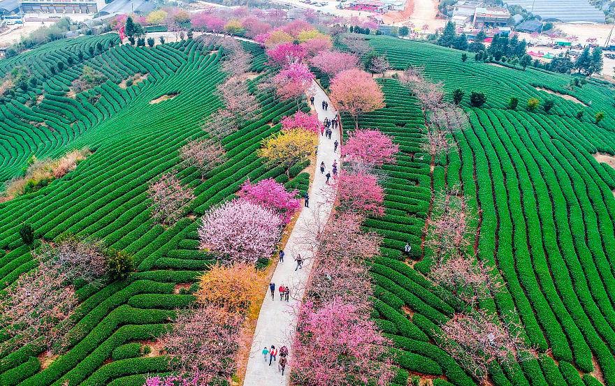 أزهار الكرز: واحدة من أروع المعالم السياحية على الكوكب