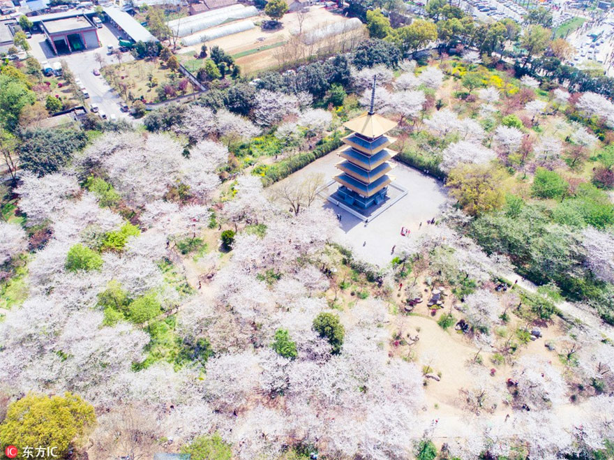 Cherry-Blossoms-Spring-China