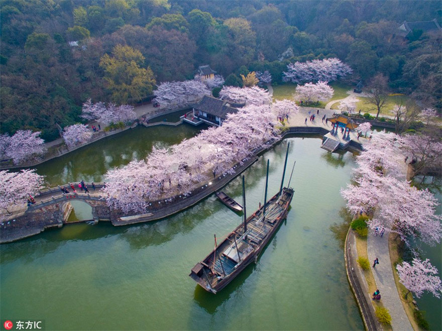 cherry blossoms have just bloomed in china and it s probably one of