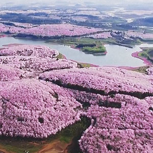 Cherry Blossoms Have Just Bloomed In China, And It's Probably One Of The Most Amazing Sights On The Planet