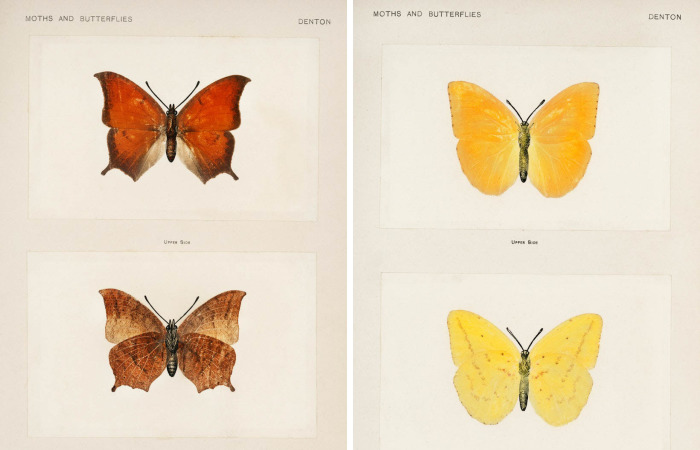 Over 10,000 Real Butterflies Are Captured To Create A Collection Of These Breathtaking 19th Century Vintage Illustrations