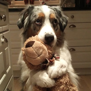 20+ Reasons Why Australian Shepherds Are The Best Dogs