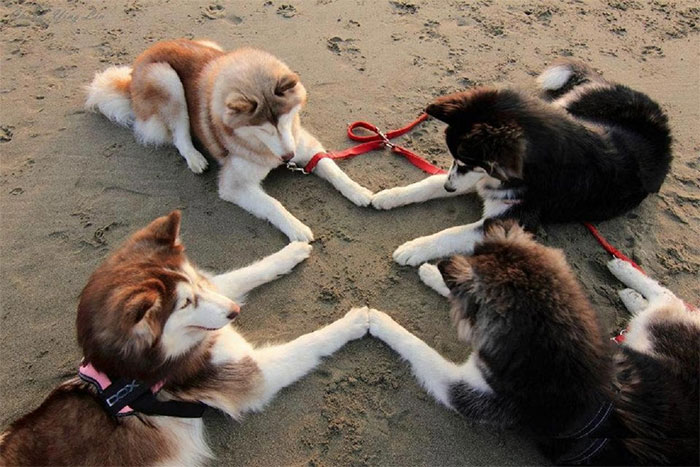 Huskies Trying To Summon Satan