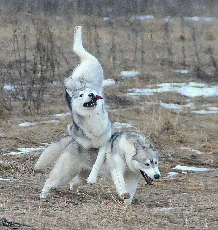 Esos majestuosos huskies