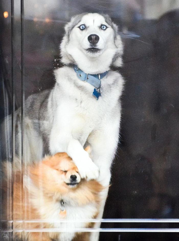 El perro de mi novia cuando llaman a la puerta