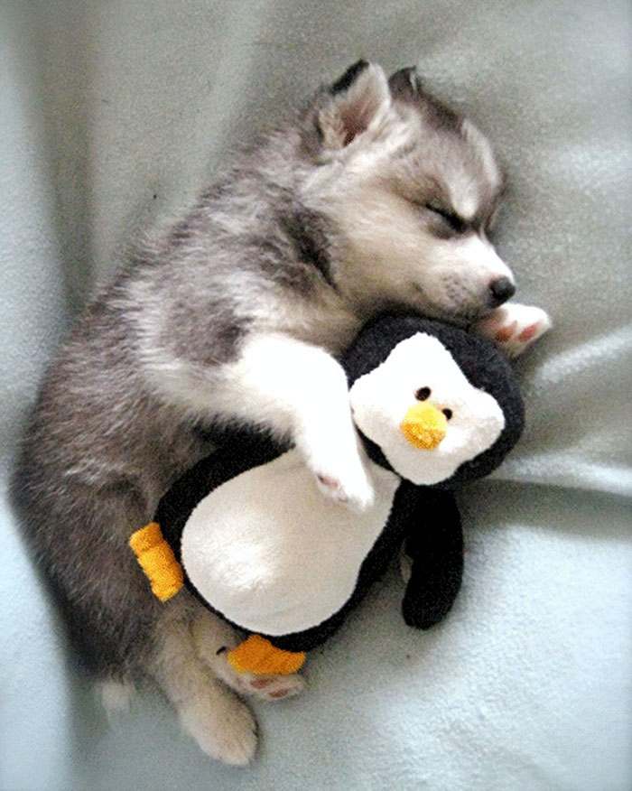 Husky Puppy Taking A Nap With His Stuffed Penguin