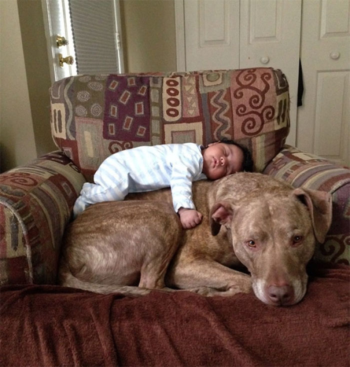 A Baby And A 125 Lb Pit Bull