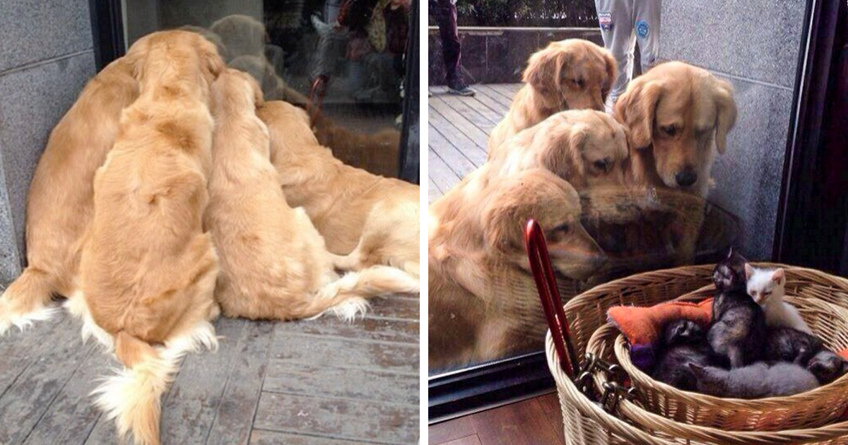 20 Times Retrievers Proved They Are The Best Dogs Ever Bored Panda