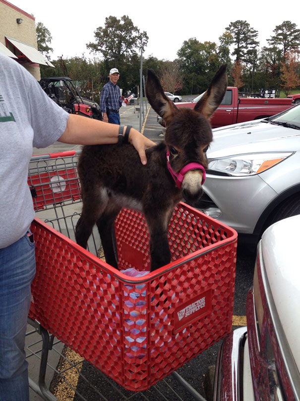 Baby Donkey Out Shopping
