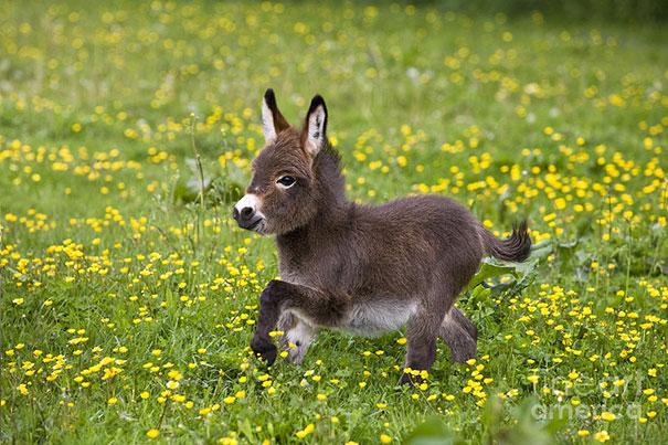 cute-miniature-baby-donkeys-15-5aaa277ac