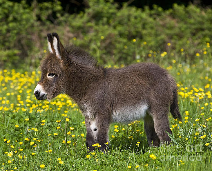One-Month-Old Miniature Donkey In A Meadow Full Of Buttercups