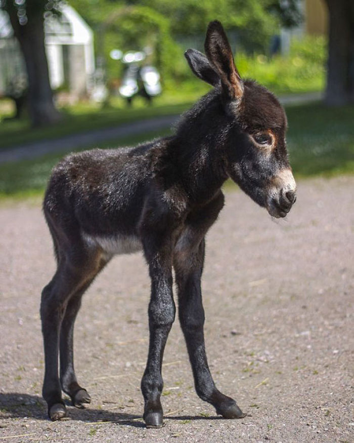 I Posted Pics From This Donkey Foal Last Weekend And Sadly He Passed Away On Monday. He Was 3-Days-Old