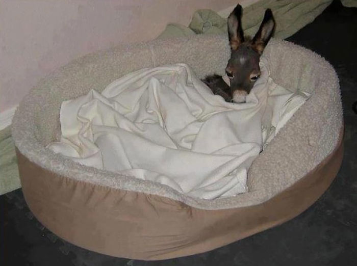 Baby Donkey Taking A Cozy Nap In Dog's Bed