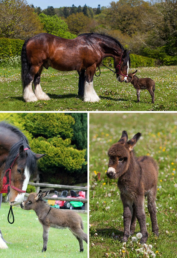 Tiny Newborn Donkey Making Friends With A Horse