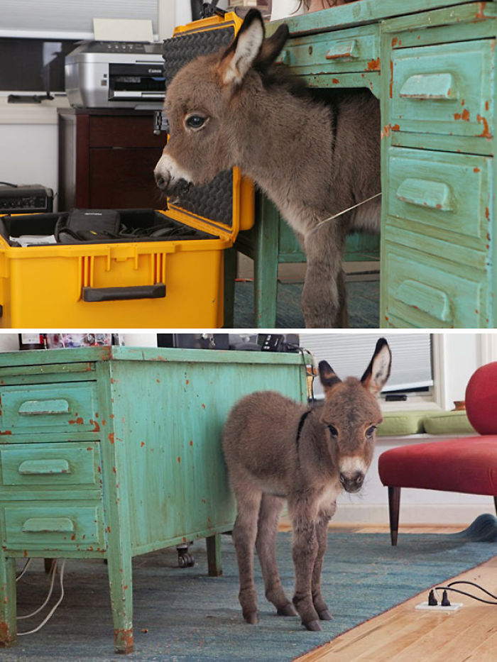 Our Baby Mini Donkey, Opie, Likes To Get In Trouble