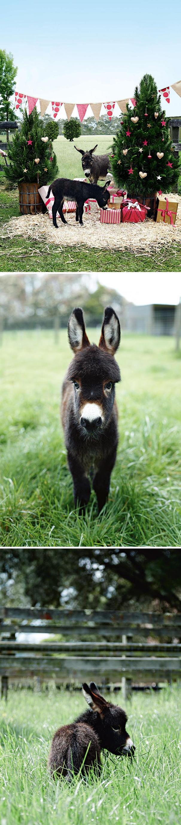Celebrating Christmas On A Miniature Donkey Farm