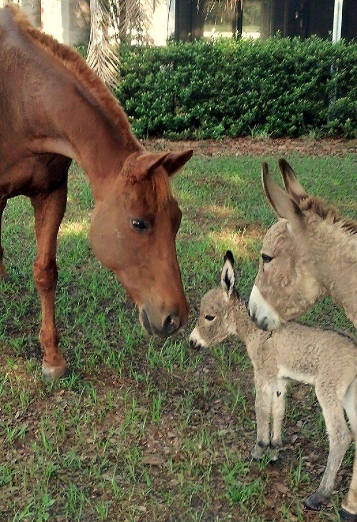 Mi borrica presentando a su bebé nacido hace 5 horas ante mi caballo