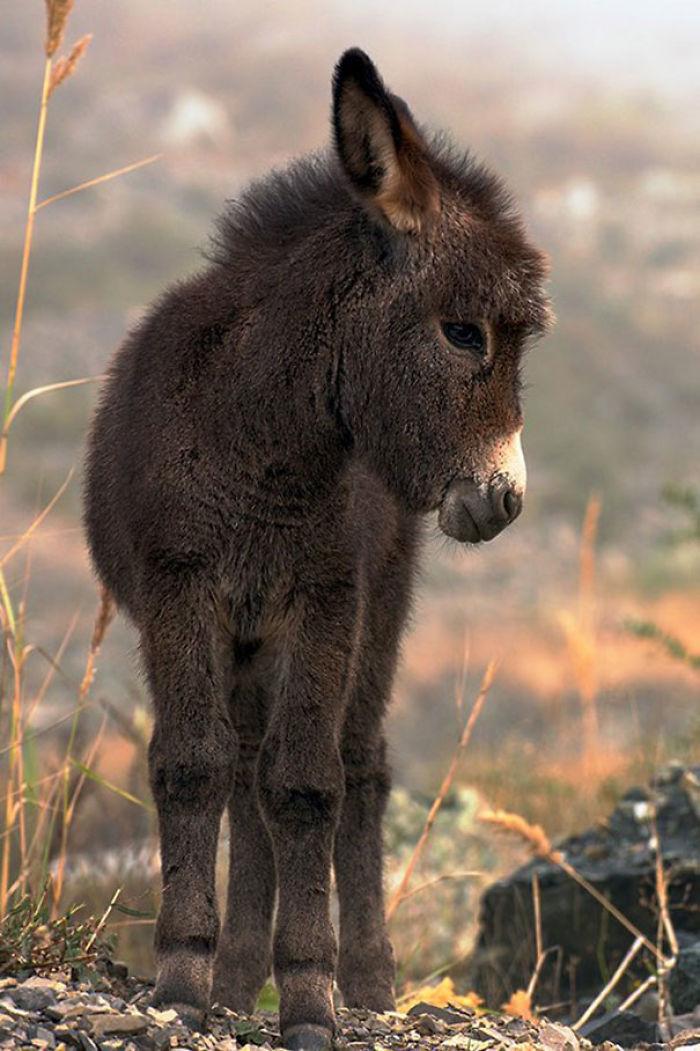 Cute Miniature Donkey