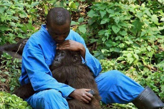 Park Ranger Andre Comforts Orphan Gorilla Nadakasi Through The Sounds Of Bombs And Mortars Firing Above Virunga National Park