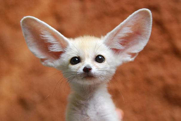 fennec-fox-vegan-diet-animal-abuse-jumanji-sonia-sae-38