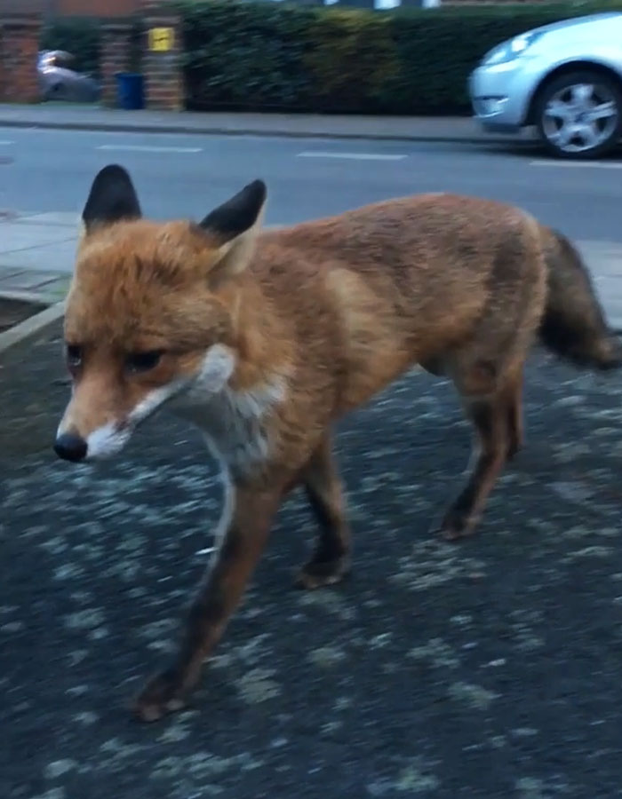 Guy Gets Too Close To Wild Fox While Snapchatting It, And Now He Wishes He Hadn't