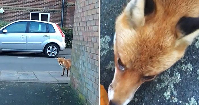 Este hombre se acercó demasiado a un zorro salvaje para mostrarlo en Snapchat, y ahora desearía no haberlo hecho