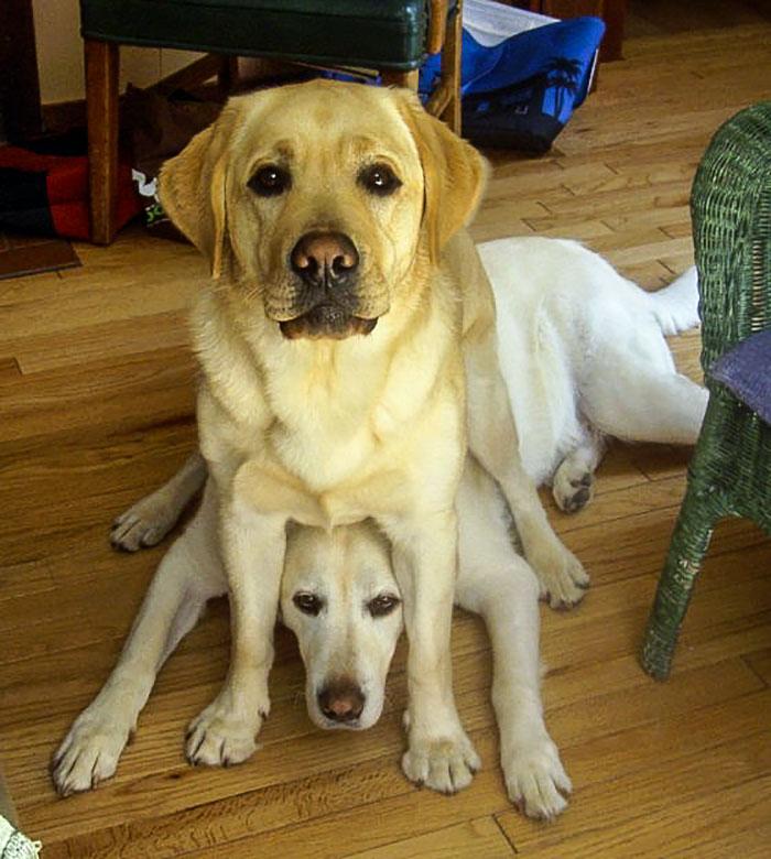 Comfortable Labrador