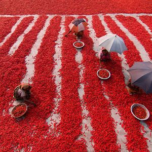 Red Chili Pepper Pickers, Travel Finalist