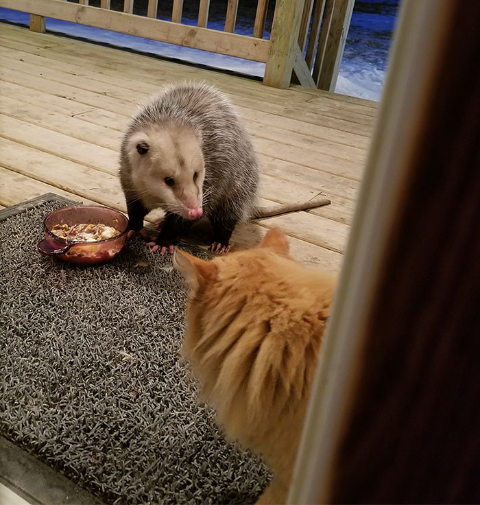 This Cat's Reaction To Possum Stealing Her Food Gets Better