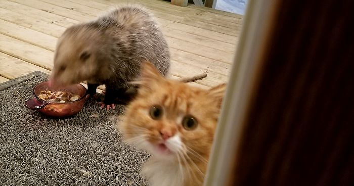 This Cat S Reaction To Possum Stealing Her Food Gets