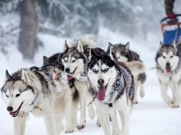 sled-dogs-5ab2c95e6f12d.jpg