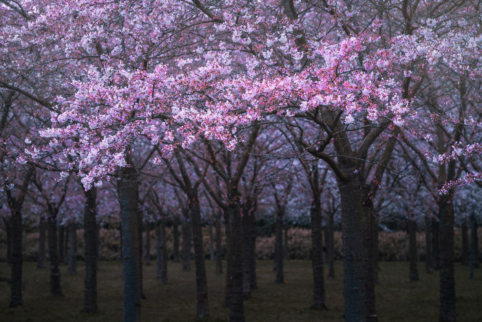 I Photographed The Cherry Blossoms… In Amsterdam!