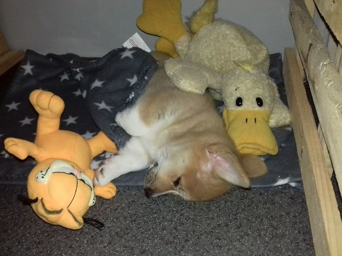 My Dream Of Many Years. My Love. My Corgi Molly At Her First Night Home