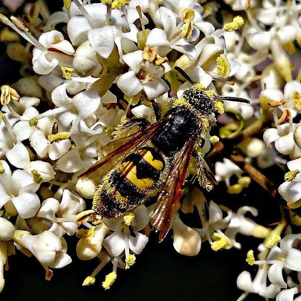 180409-Wasp-collecting-pollen-5acec35861992-jpeg.jpg