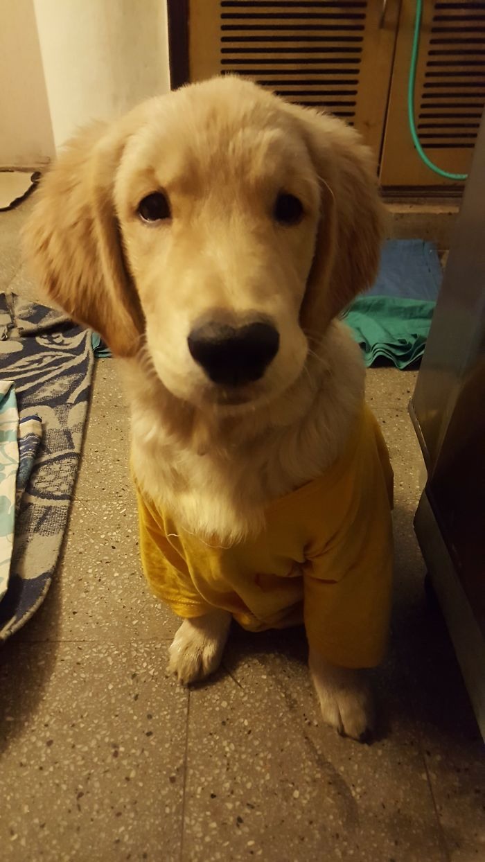 Golden Retriever, Bosu, Was Cold, So He Got His Own T-Shirt