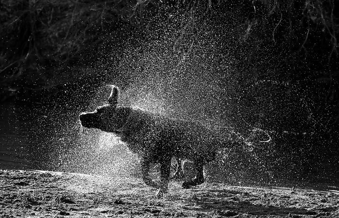 Otis The Black Labrador Loves Playing In The River Dee In North Wales