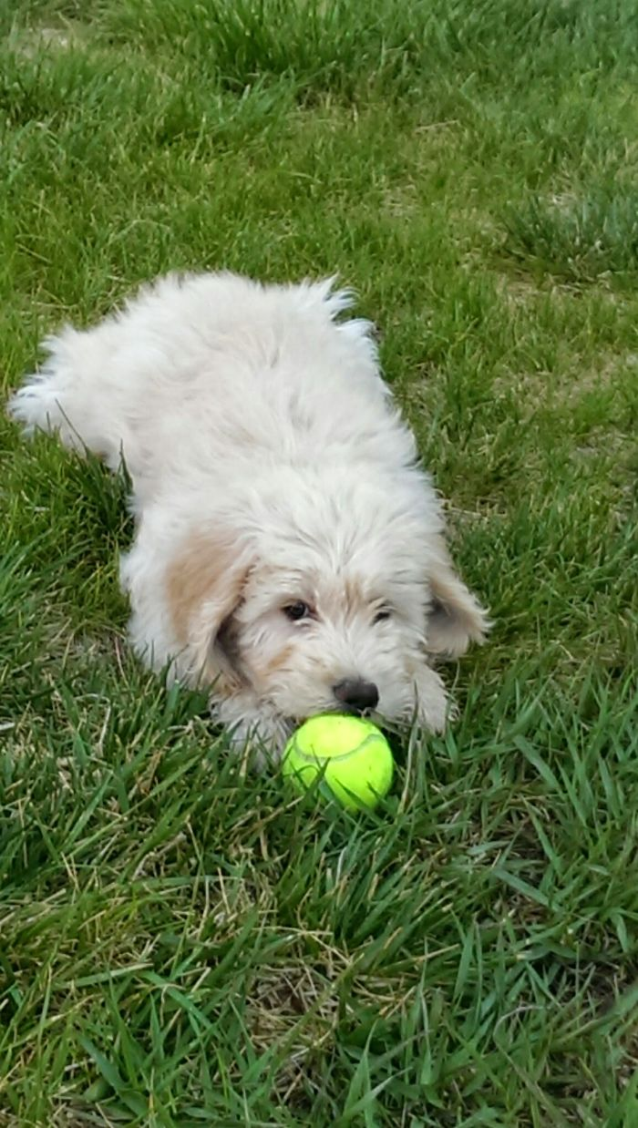 """""""Precious… My Precioussssss!! """" My 11 Week-Old Doodle Discovering His Life's Passion."""