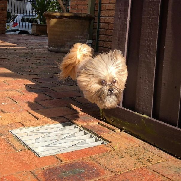 When My Buddy's Dog Leaps Over Grates Her Body And Legs Disappear And It Looks Like A Dog's Head Is Just Floating Down The Street