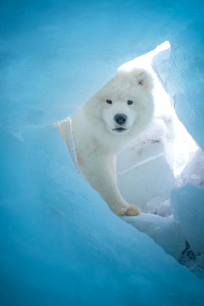 Samoyed Or Polar Bear